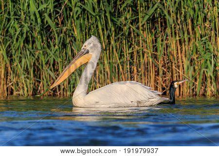 Dalmatian Pelican (Pelecanus crispus) and cormorant in Danube Delta Romania