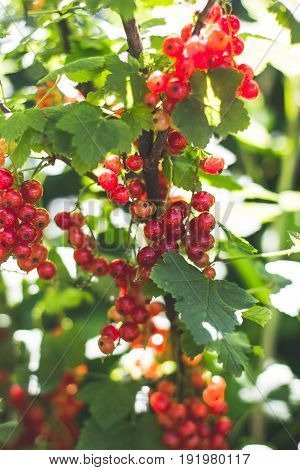 Red currant on a bush closeup redcurrant in summer garden. Growing berries harvest at farm