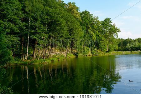 Blue water in a forest lake with pine trees duck on water