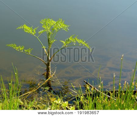 Hemlock or poison hemlock blooming Conium maculatum. Harvest in water