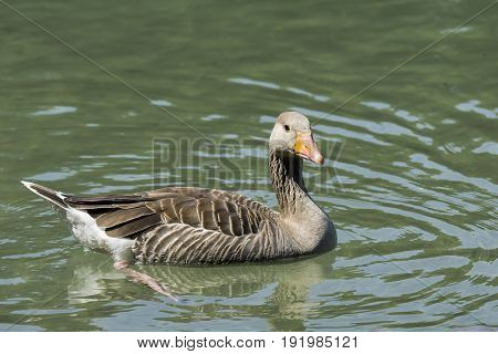 View on a beautiful Greylag Goose at the Lake. Animals in the Wild.  Close-up of a floating Greylag Goose (Anser) in Summer.