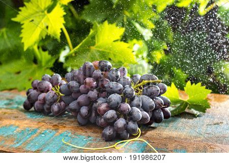 Healthy Fruits Red Wine Grapes In The Vineyard Under The Rain, Dark Grapes/ Blue Grapes/wine Grapes,