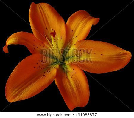 Red lily flower on isolated black background with clipping path. Closeup. no shadows. For design. Nature.