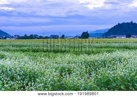 Buckwheat Field On Dusk With Mountain View