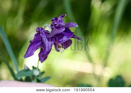 Flower purple bell. Nature is a bizarre plant. Photo for your design