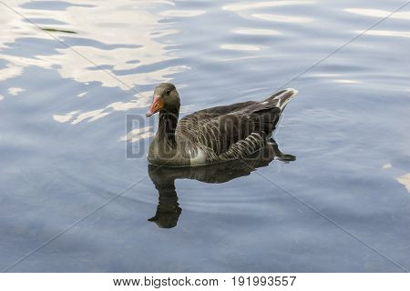 View on a beautiful Greylag Goose at the Lake. A Greylag Goose sits in the Water. Close-up of a swimming Greylag Goose (Anser) in the Morning.