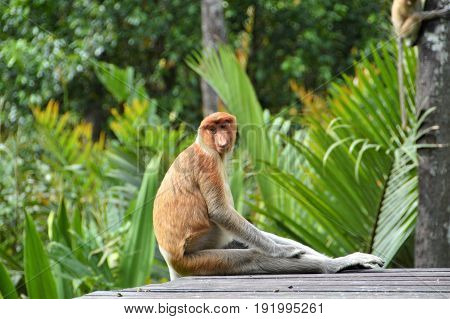 Proboscis monkey sitting in Labuk Bay sanctuary