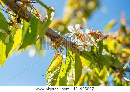 Close-up of blossoming bird cherry tree in sunny day