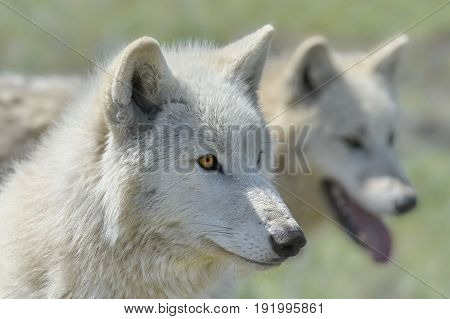 Alaskan Tundra Wolf (Canis Lupus Tundrarum) also Known as the Barren-ground Wolf