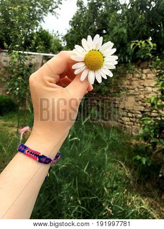 chamomile. Chamomile in the hands of a girl