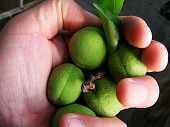 Unripe apricot, raw apricot, very sour raw apricot pictures, a handful of apricots, apricot tree green raw apricot fruit poster