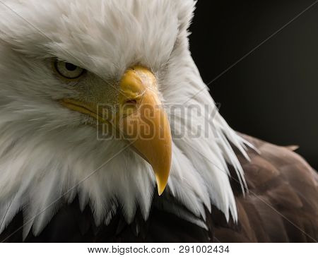The Bald Eagle Is The National Bird Of The United States Of America. The Founders Of The United Stat