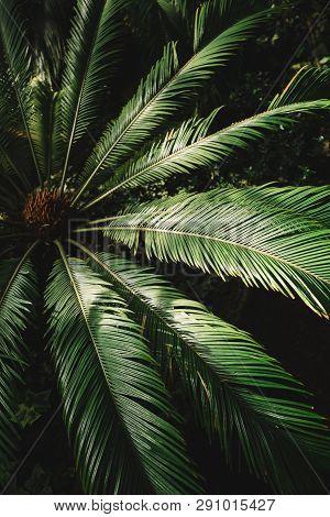 Close Up Photo Of Attalea Speciosa Green Leaves In Botanical Garden, Selective Focus/ Babassu Oil, P