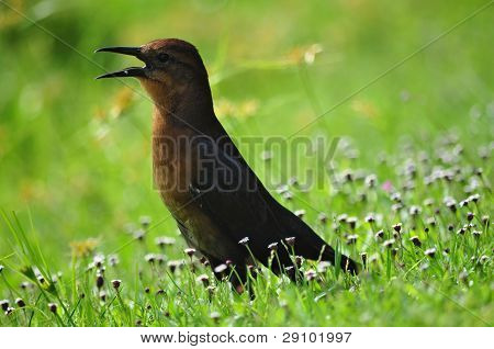 Female Boattailed Grackle