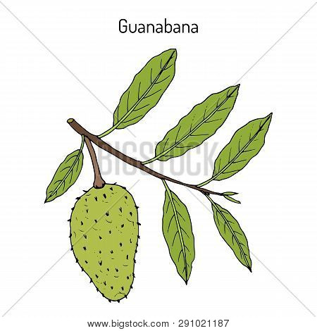 Soursop Annona Muricata , Or Guanabana, Medicinal Plant. Hand Drawn Botanical Vector Illustration