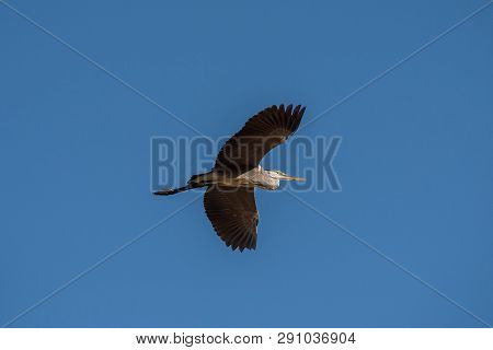 Grey Heron (ardea Cinerea). The Bird Is Flying And Looking For Prey. Chyornye Zemli (black Lands) Na