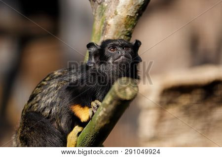 Portrait Of Female Red-handed Midas Tamarin Monkey. Photography Of Nature And Wildlife.