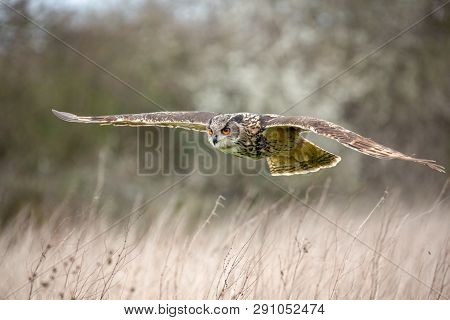 Eurasian Eagle Owl (Bubo bubo) in natural environment, United Kingdom poster