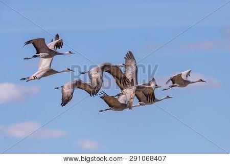 Sandhill Cranes during the Spring migration in Monte Vista, Colorado. poster