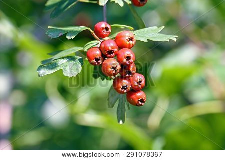 Red Ripe Hawthorn (crataegus Monogyna) Fruits On Branch, Native To Europe, Northwest Africa And West