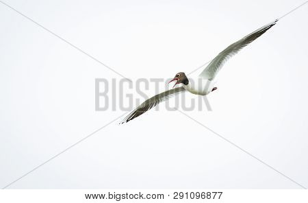A Black-headed Gul (chroicocephalus Ridibundus) In Flight At The Wood Lane Nature Reserve In Shropsh