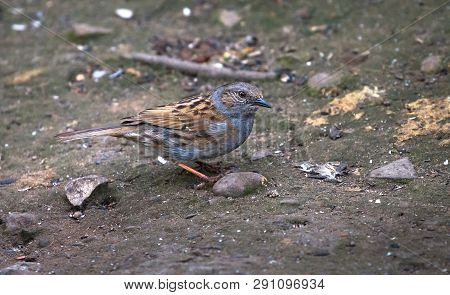 An Adult Dunnock (prunella Modularis) Searches For Food On The Forest Floor At The Wood Lane Nature