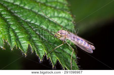 A Large Mosquito With Iridescent Wings Found And Photographed On A Leaf At Night At The Wood Lane Na
