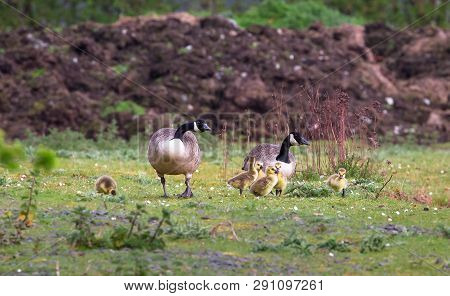 A Breeding Pair Of Canada Geese (branta Canadensis) With Six Goslings Walks On A Grassy Field At The