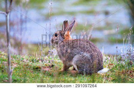 A European Rabbit (oryctolagus Cuniculus) Sits On A Grassy Ledge Near Venus Pool In Shropshire, Engl