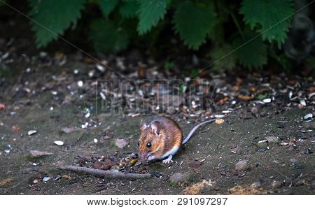 An Adult Wood Mouse (apodemus Sylvaticus) Emerges From The Vegetation To Look For Food At The Wood L