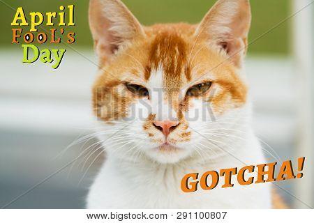 April Fools Day, Gotcha, Portrait Of White-light Brown Cat