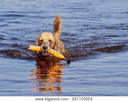 Standard Poodle Swimming On Dog Rescue Service Water Training. Playing With An Orange Fetching Toy I