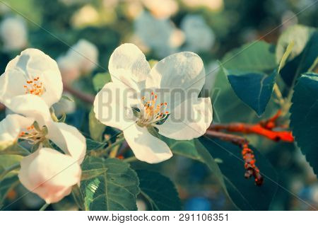 Spring white flowers of apple tree blooming in the spring garden. Natural spring flower landscape