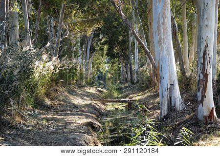 Stream In The Eucalyptus Grove. Non Urban Scene