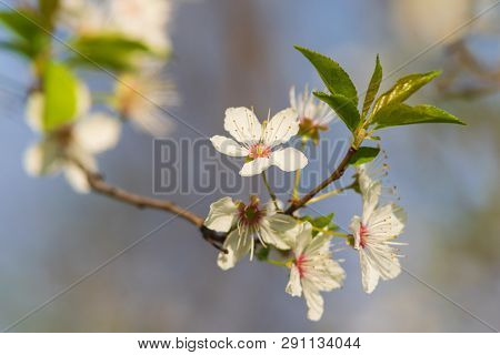 Spring Flowers Nature Background. Nature Background Of Spring Flowers. White Flowers Nature Backgrou