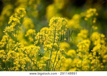 Rape Flowers Close-up In Spring In Longquanyi Mountains, Chengdu, China