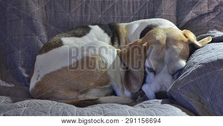 Resting Female Tricolor Beagle, South Bohemia, Czech Republic
