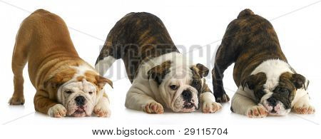 litter of puppies - three english bulldog puppies with bum up in the air