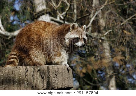 View Of Full Body Male Common Raccoon. Photography Of Nature And Wildlife.