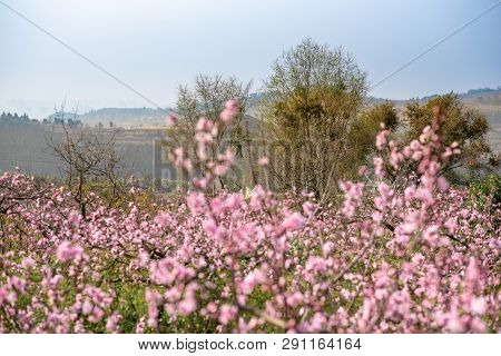 Peach Blossom Tree Field On A Sunny Day In Spring In Longquanyi Mountains, Chengdu, China