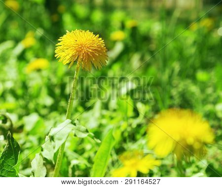 Spring Young Dandelion Growing Among The Green Grass In The Field. Blossoming Dandelion On A Blurred