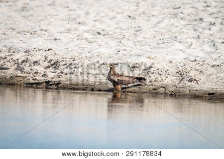 Yellow-billed Kite Standing In The Water.