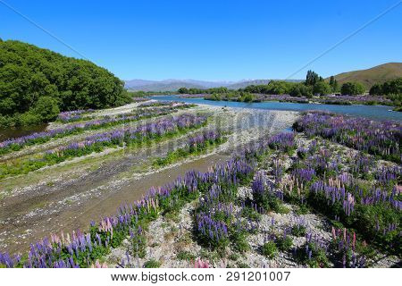 Colorful Flowers. Floral Landscape Of New Zealand: Lupinus Polyphyllus Along The Hakataramea River A