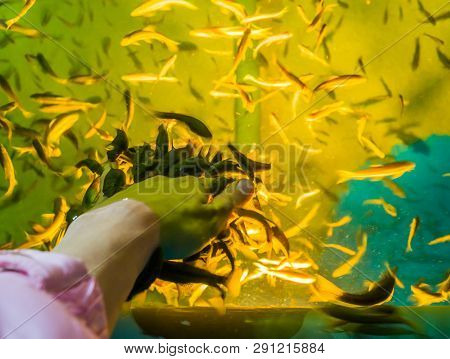Many Nibble Fishes Nibbling The Dead Skin Of A Human Hand, Popular Spa Treatments, Skin Health Care