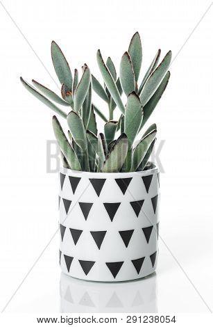 Beautiful Panda Plant (kalanchoe Tomentosa), In A Scandinavian Style Pot, Isolated On White Backgrou