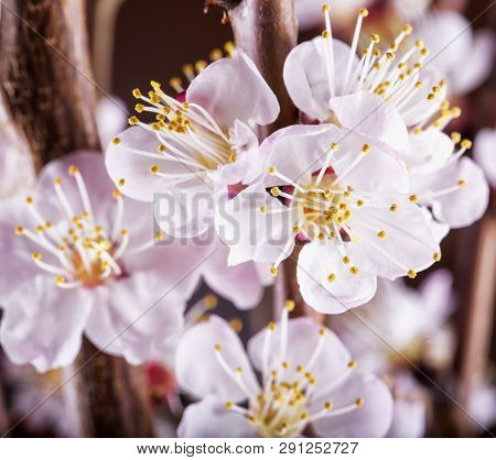 Apricot Flower In Close Up