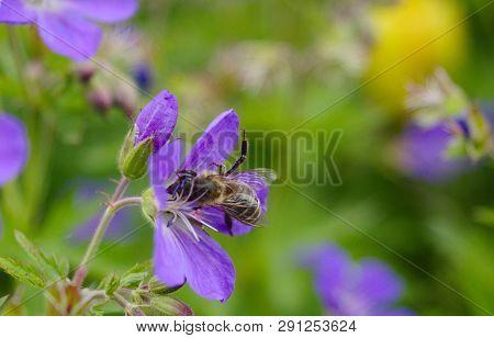 Honey bee harvesting nectar on lila flowers poster