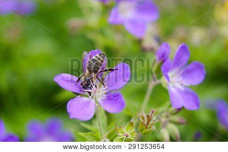 Austrian Honey bee harvesting nectar on lila geranium flowers poster