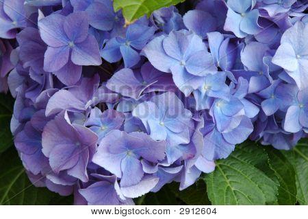 Purple Hydranger
