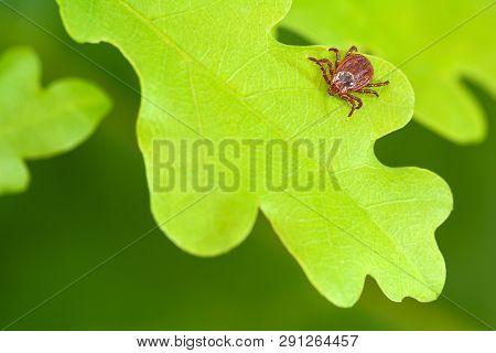 Parasite Mite Sitting On A Green Oak Leaf. Danger Of Tick Bite.